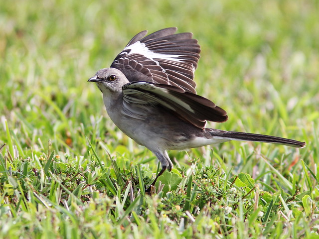 Northern Mockingbird flashing wings 20140320