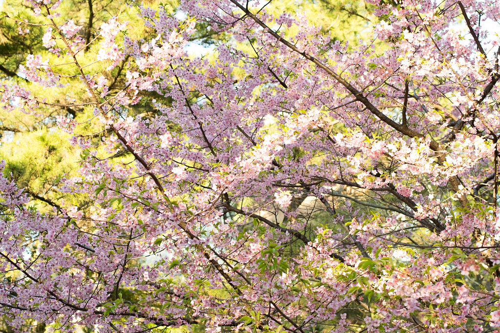 早咲き、桜。by K3 + 55mm f1.4 SDM