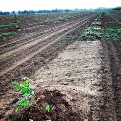 New walnut trees #orchard #rootstock #clonal #duarte #duartenursery #walnut #walnuts ##ranch #trees #tagsforlikes #instagood #instalife #picoftheday #photooftheday #onlyonafarm #agpics #all_shots #farm #followme #farmpicsdaily #like4like #likeforlike #cou