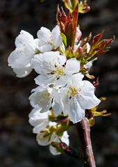 Cherry blossom J4667