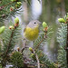 Nashville Warbler by nugefishes