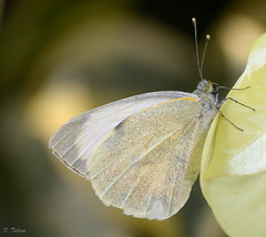arthropod, pollinator, animal, moths and butterflies, butterfly, yellow, wing, nature, invertebrate, macro photography, fauna, cabbage butterfly, close-up,