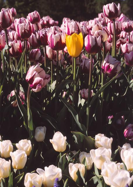 Yellow Tulip in Washington Park, Albany, N.Y.