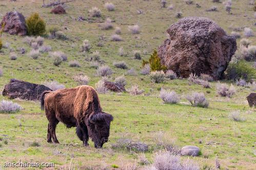 Yellowstone NP #5 - Panasonic GH3 & 100-300mm