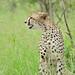 Small photo of Cheetah (Acinonyx jubatus)