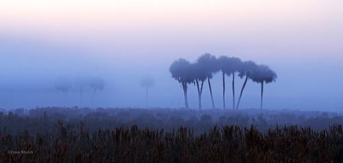 usa nature fog rural sunrise dawn florida northamerica wma wildlifemanagementarea sabalpalm sabalpalmetto hendrycounty dinnerislandranch january2015 466456