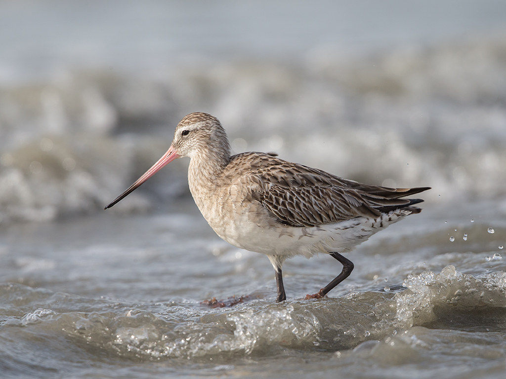 Bar-tailed Godwit   Gambia