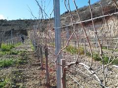 Mataro vineyards