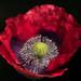 Pop-along poppy by Steve-h