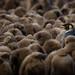 Obligatory King Penguin amongst the chicks by axsnyder