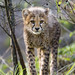 Small photo of Standing cheetah cub