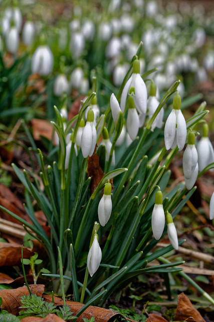 Agrusoft Webdesign Photopage - The March Of The Snowdrops