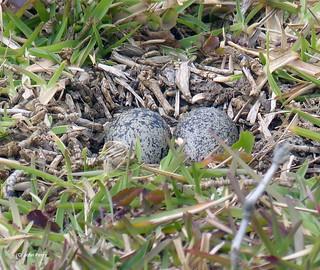 St Helena Wirebird eggs