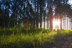 Sun setting through the trees