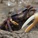 Fiddler Crab - Uca tangeri