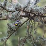 Coniferous tree and bird