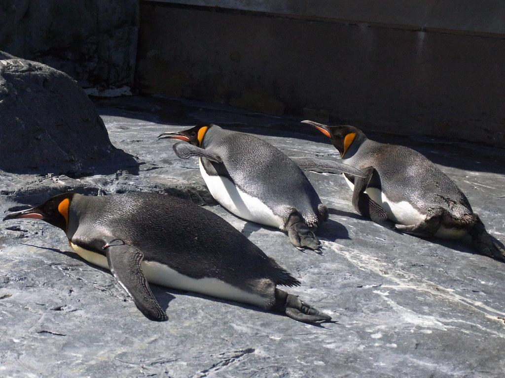 ペンギン干し