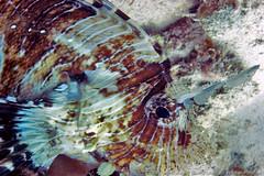 Close up of scorpion fish