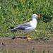 Caspian Gull (R. Davidson)