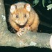 Common ringtail possum, Queensland
