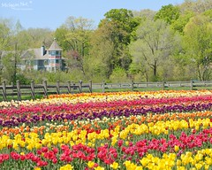 """A rainbow of tulips""  Holland, Michigan by Michigan Nut"