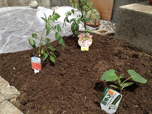 トマトとキュウリを植えました