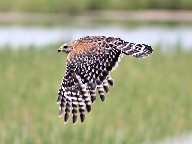 Red-shouldered Hawk in flight 2-20130520