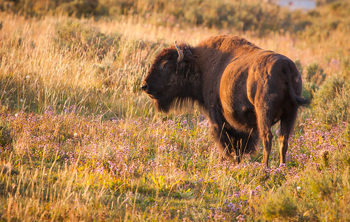 Pregnant bison at Yellowstone National Park