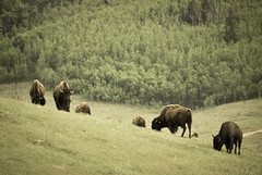 sheep(0.0), grizzly bear(0.0), muskox(0.0), cattle-like mammal(1.0), animal(1.0), mammal(1.0), herd(1.0), grazing(1.0), fauna(1.0), meadow(1.0), bison(1.0), pasture(1.0), grassland(1.0), wildlife(1.0),
