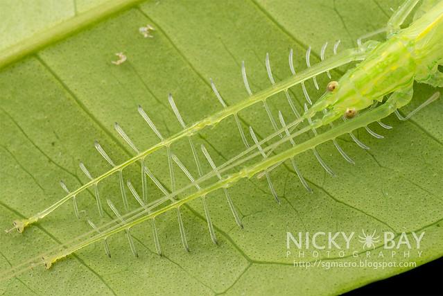 Katydid (Tettigoniidae) - DSC_0894