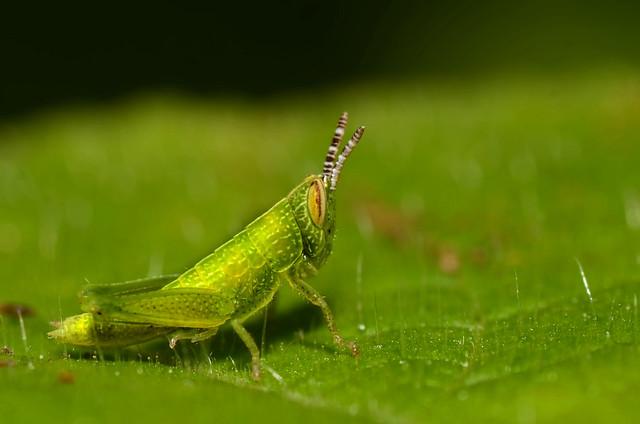 Little Green Devil [Nikon][D7000][Tamron 90mm F 2.8][India]