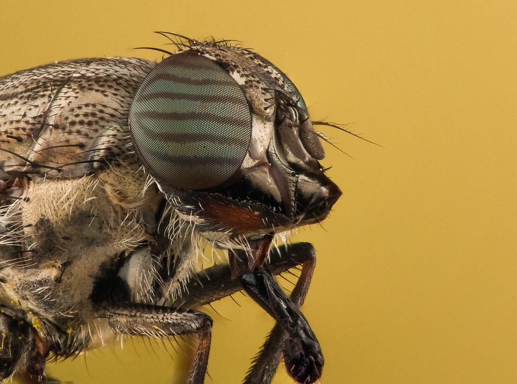 Beautiful Eye Of a Fly