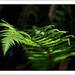 fern by tia_maria
