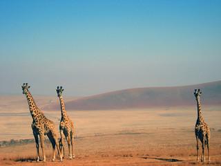 Drei Giraffen (Ngorongoro)