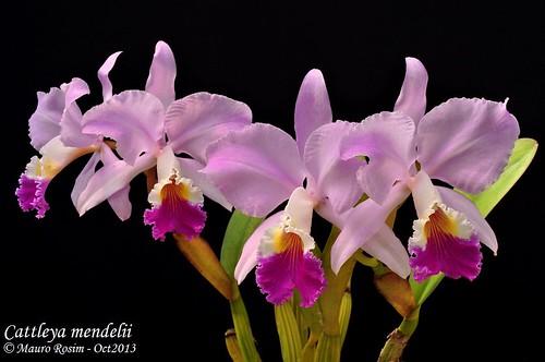Cattleya mendelii by Mauro Rosim