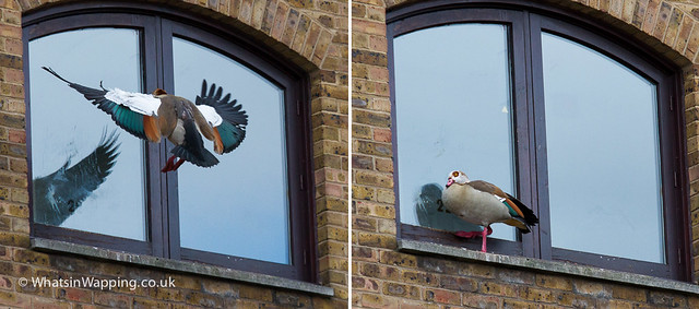 Egyptian goose flying at window