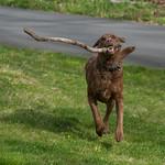 Running, happy dog