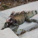 Hungry iguana