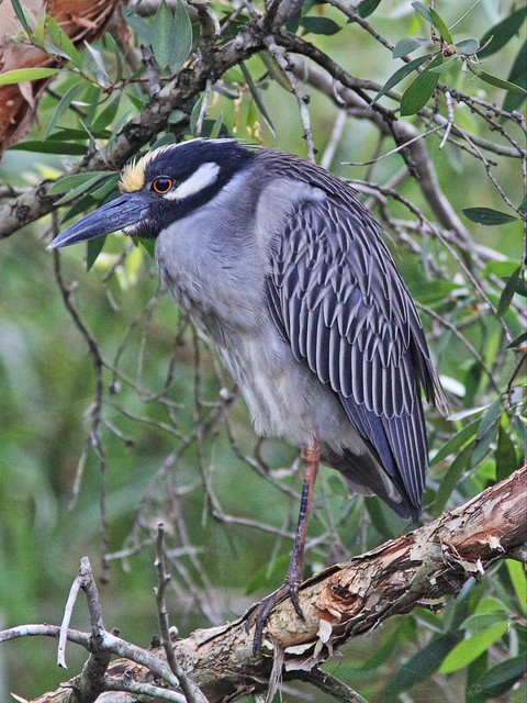 Yellow-crowned Night-Heron female 20140307