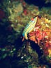 Scuba Diving Okinawa Mar 2014', Horseshoe, crawling colorful nudibranch