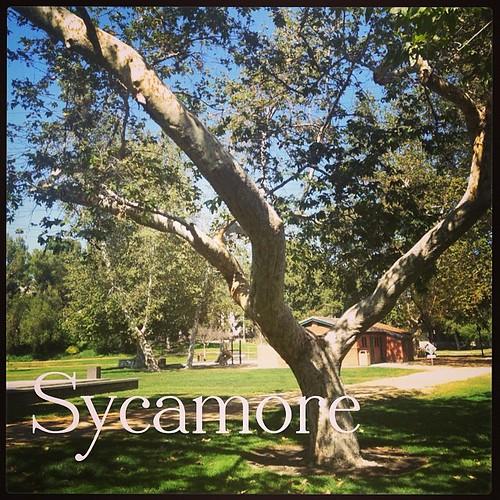 Garden Alphabet: Sycamore | A Gardener's Notebook