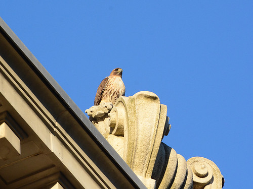 Red-Tailed Hawk (7549)