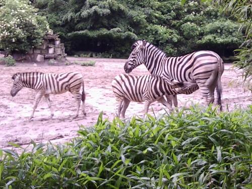 Zebrafohlen an der Milchbar!