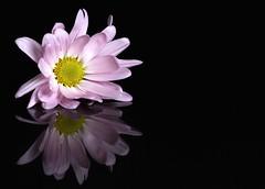 Daisy, Reflected