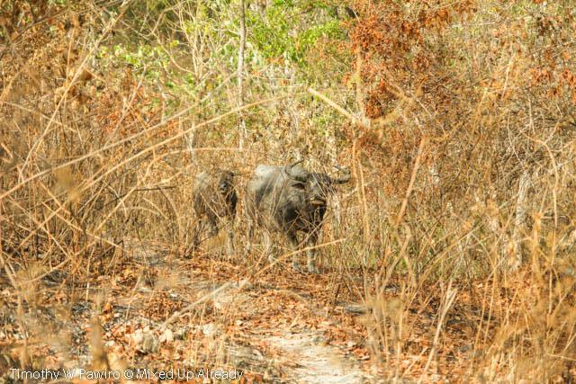 Indonesia - Sumba - Tarimbang - 11a - The buffalo with its kid