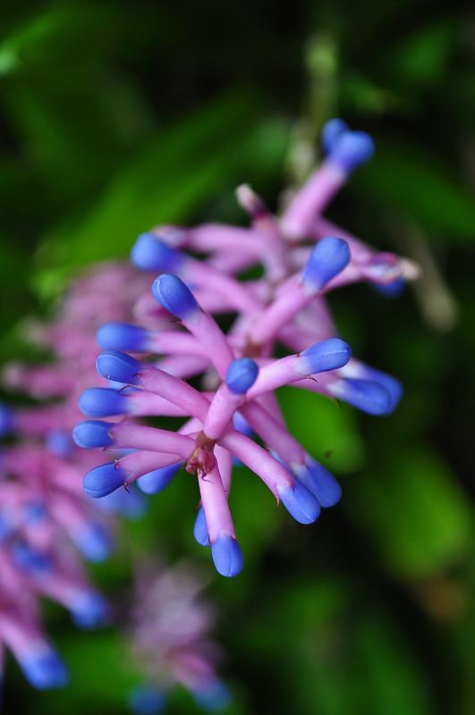 Aechmea gamosepala (Matchstick Plant) (1)