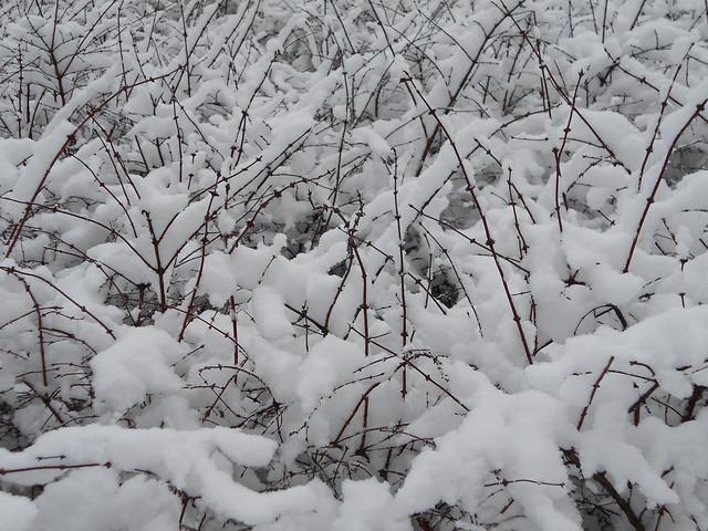 Luminen sinikuusama (Lonicera caerulea) Hämeenlinnassa 3.2.2015