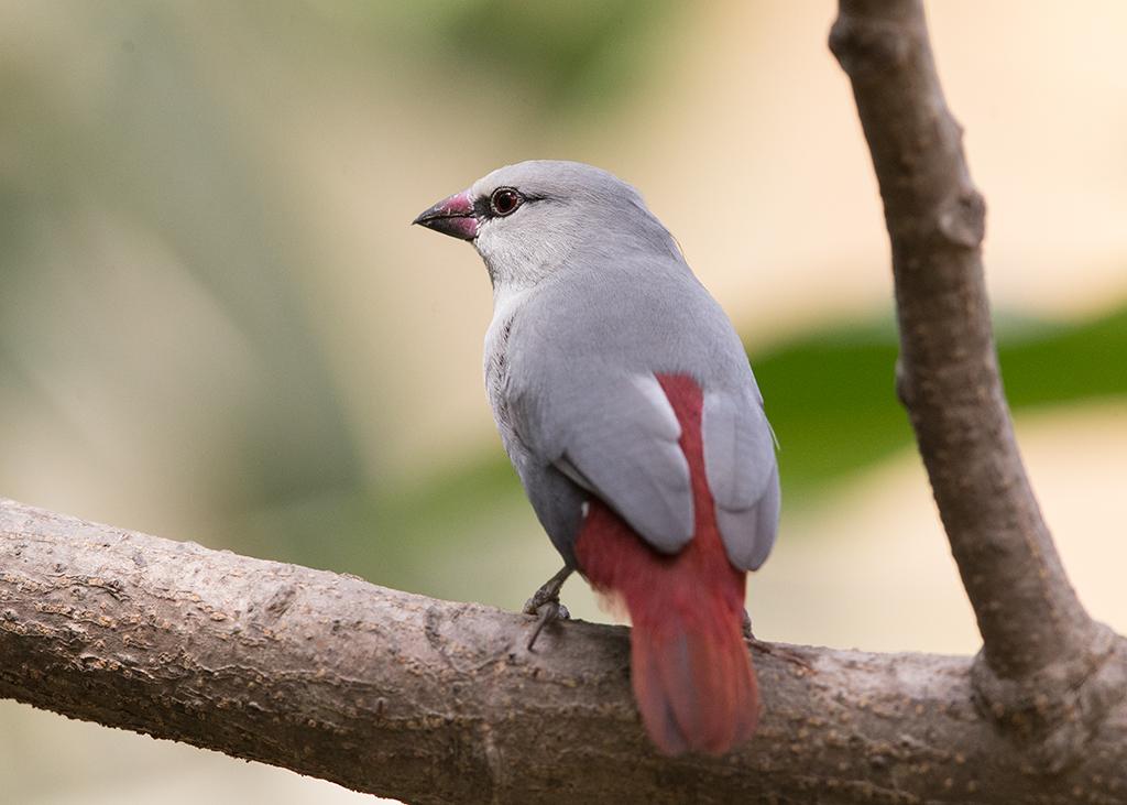Lavendar Waxbill Gambia