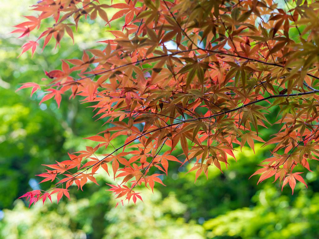 2016GWお散歩⑩_赤い若葉