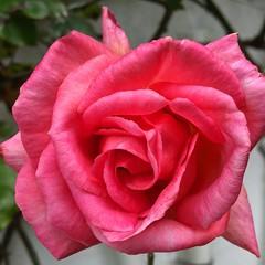 #beautiful #pretty #summer #pink #2016 #rose #irish #dublin #ireland #dunlaoghaire #garden #monkstown #blackrock #flower #bloom #blossom